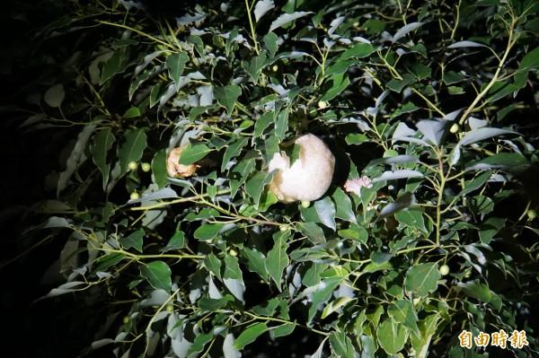 斑腿樹蛙將卵泡產水源區上方的樹上。(記者詹士弘攝)
