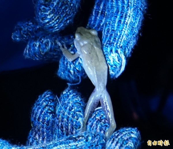 保育人員抓到斑腿樹蛙。(記者詹士弘攝)