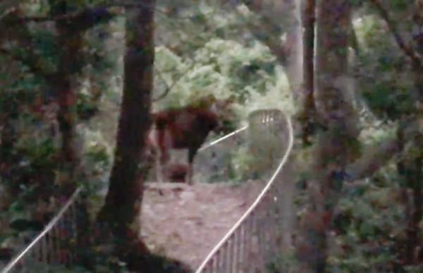 彰化八卦山田中森林步道又有野生水鹿出沒,走在登山步道上覓食。(劉姓山友提供)