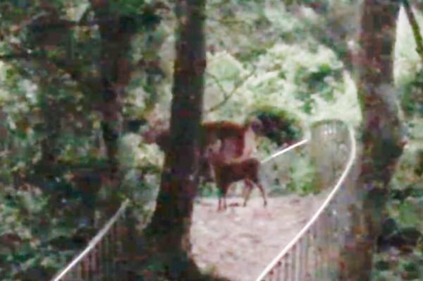 劉姓山友爬山撞見野生水鹿母子覓食。(劉姓山友提供)