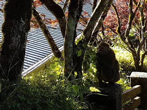 獼猴近來頻頻出現在太平山莊附近。(擷取自太平山臉書粉絲專頁)