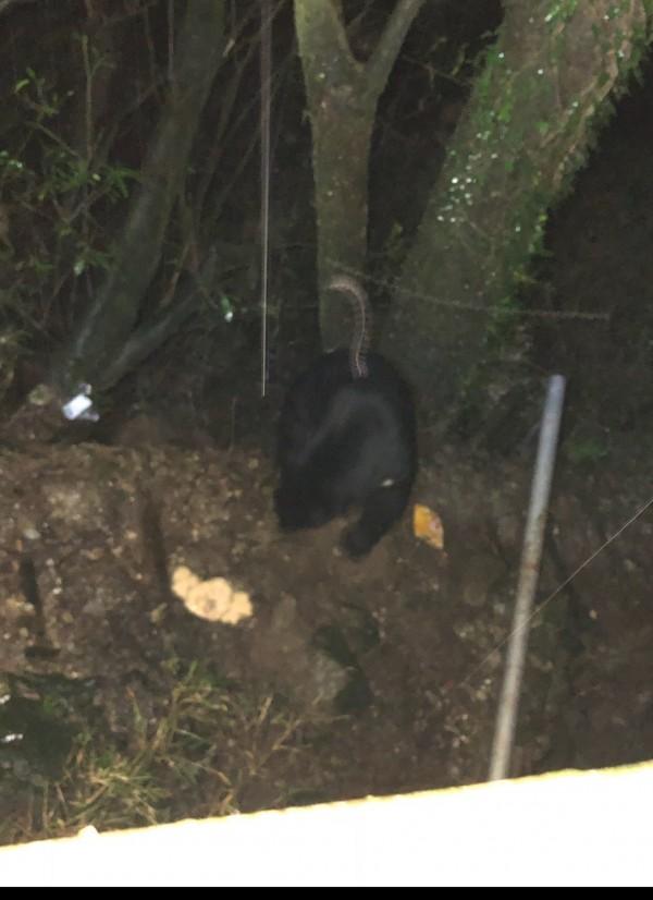 台灣黑熊前晚在向陽山屋外的影像。(台東林管處提供)