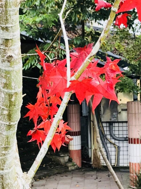 親愛國小的青楓染紅,萬綠叢中一株紅而特別顯眼。(王子健老師提供)