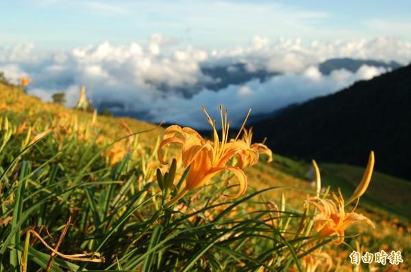 金針山賞花也是農遊體驗遊程之一。(記者張存薇攝)