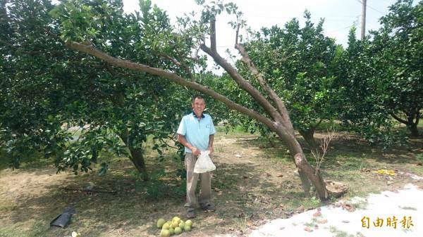 這棵百年麻豆文旦樹因立枯病而奄奄一息。(記者楊金城攝)
