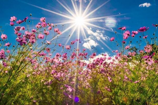 福壽山農場的波斯菊在藍天白雲及日光襯托下,美得不像話。(圖由福壽山農場提供)