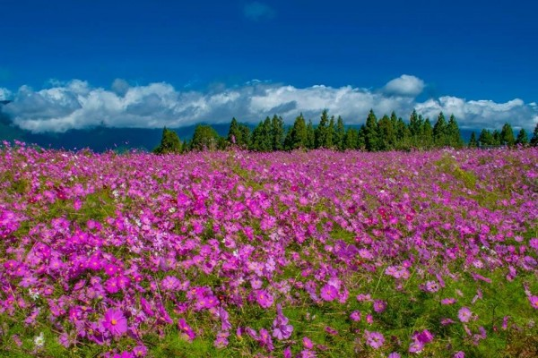 福壽山農場的波斯菊花海。(圖由福壽山農場提供)