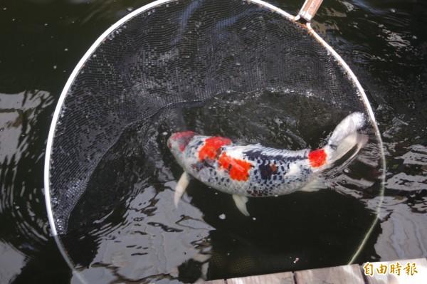 錦鯉體型、花色與質地是決定身價重要因素。(記者林國賢攝)