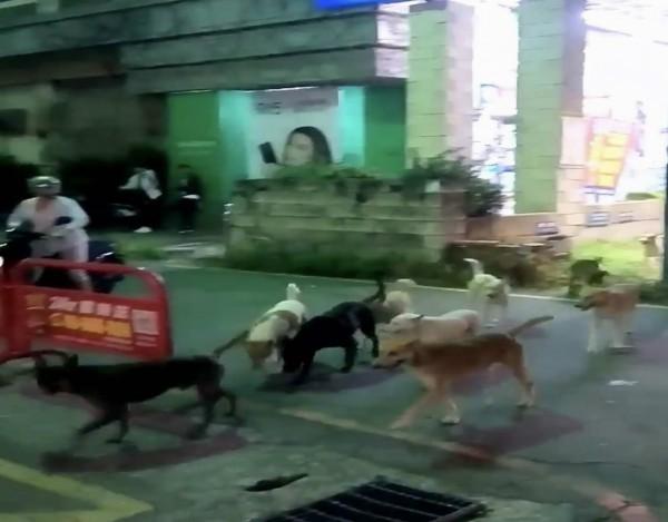 彰化市曉陽路昨晚出現整群流浪狗,讓民眾看到傻眼,紛紛走避。(民眾提供)