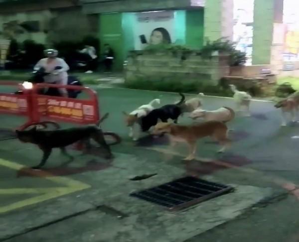 彰化市曉陽路昨晚出現整群流浪狗,讓民眾看到傻眼,直呼流浪狗問題日益嚴重。(民眾提供)