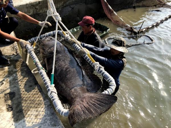 30歲左右的「祖宗級」龍膽石斑,撈起時碩大魚身仍是來一陣驚嘆。(記者陳彥廷翻攝)