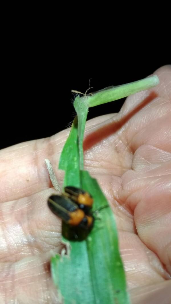 太平苗圃復育黃緣螢,母蟲數量較去年倍增,交配成功比例高。(圖由專業攝影師李志穎提供)
