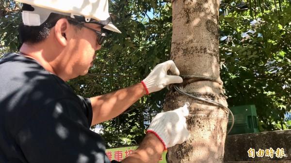 新竹縣山崎國小今天立刻僱請具有園藝專業者到場替該校後門的一排小葉欖仁樹移除纏勒樹身的鐵絲。(記者黃美珠攝)