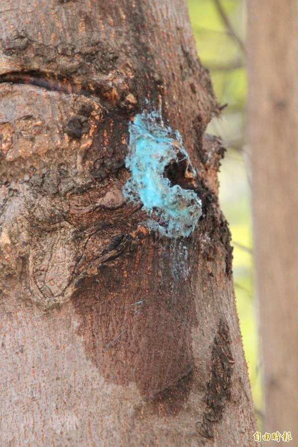 塗上消毒殺菌藥膏的小葉欖仁樹身。(記者黃美珠攝)