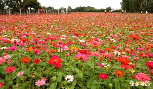 桃園花彩節龍潭場混色百日草綿延2至3公頃,形成壯觀的美麗花海。(記者李容萍攝)
