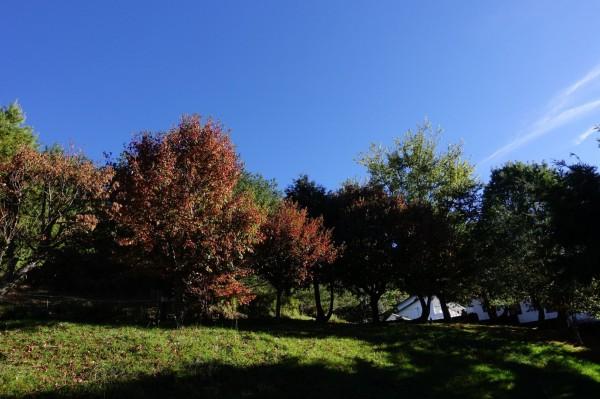 玉山塔塔加園區楓紅乍現,位在遊客中心的楓樹都已轉紅。(玉管處提供)