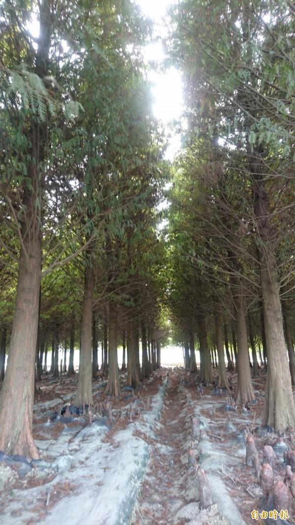 六甲落羽松林,還沒變色。(記者楊金城攝)