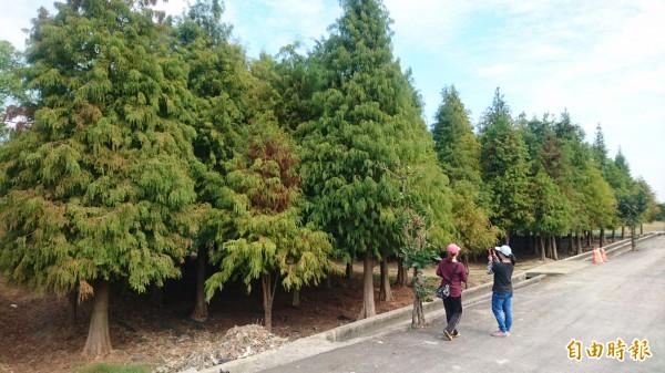 六甲落羽松林,遊客迫不及待前往一遊。(記者楊金城攝)