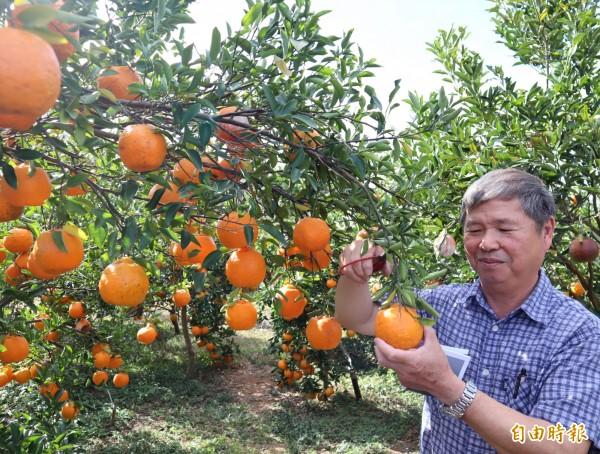 雲仙谷觀光果園農友林得元說,豐原公老坪觀光果園已有40年歷史。(記者歐素美攝)