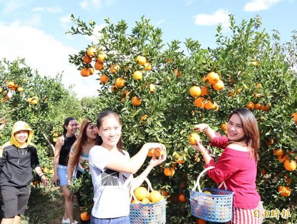 多位菲律賓遊客到公老坪的觀光果園採橘子,因為當地沒有觀光果園,大家覺得採果很好玩。(記者歐素美攝)
