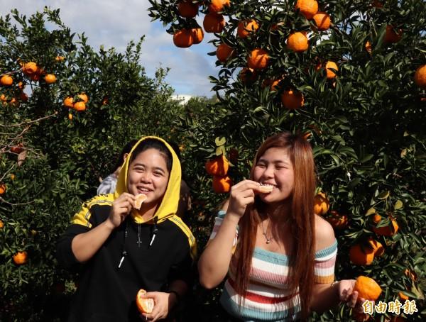 公老坪的觀光果園,橘子現採現吃,十分美味。(記者歐素美攝)