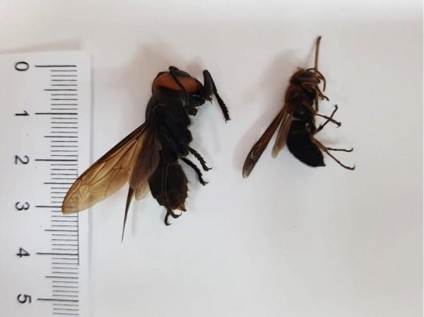 台灣常見7種虎頭蜂,形體有4公分大的大華虎頭蜂(左),也有較小約2公分的黑腹虎頭蜂。(記者蔡淑媛翻攝)