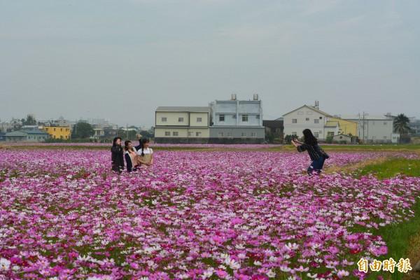 霧峰福新路兩旁的休耕田,近日變成美麗的波斯菊花海,吸引民眾來賞花拍照。(記者陳建志攝)