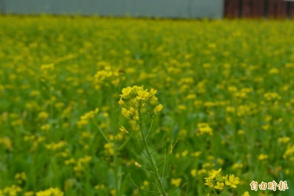 霧峰福新路兩旁的休耕田,近日金黃色的油菜花盛開,一整片的花海相當漂亮。(記者陳建志攝)