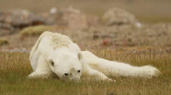 這隻瘦骨嶙峋的北極熊讓人於心不忍。(圖擷自Paul Nicklen IG)