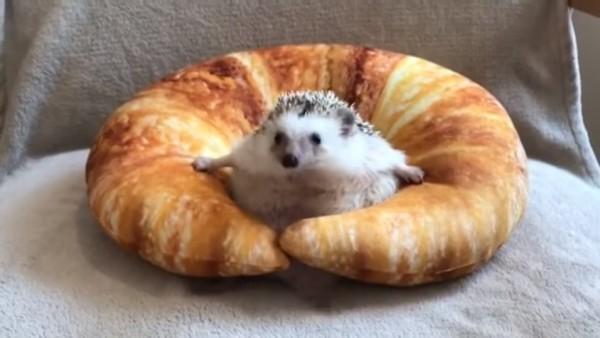 刺蝟寶寶卡在牛角麵包頸枕,奮力掙脫不了的可愛模樣,萌翻許多網友。(圖擷自YouTube)
