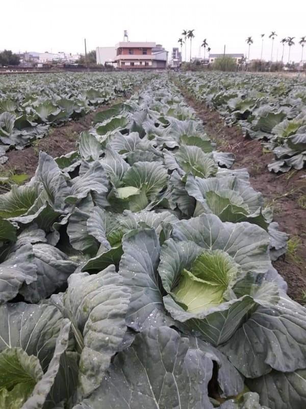 高麗菜價崩盤,導致農民不敷成本、叫苦連天。(圖擷取自FB)
