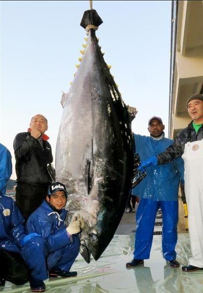一艘延繩捕魚船在小笠原群島海域捕獲到1隻體長274公分、體重450公斤的黑鮪魚。(圖擷自《產經新聞》)