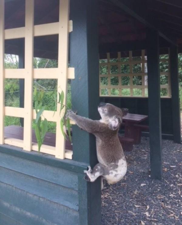 澳洲昆士蘭的英比爾,當地時間10日,驚傳有隻氣絕多時的無尾熊,被人惡意「釘在」柱子上。(圖翻攝自「昆士蘭無尾熊救援隊」臉書粉專)