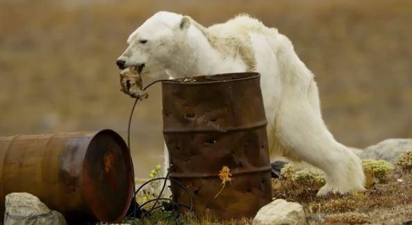 加拿大野生動物攝影師拍下北極熊瀕死求生的畫面,讓人難過得掉下眼淚。(圖擷自Paul Nicklen IG)