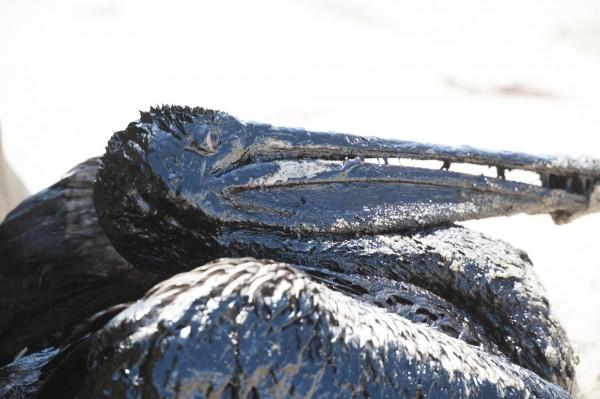海鳥受困於油汙。(美聯社)
