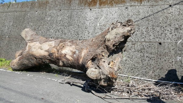 吳姓山老鼠涉嫌盜砍市價上百萬的2棵樹齡達40年的樟木後,卻以40萬元低價出售。(記者鮑建信翻攝)