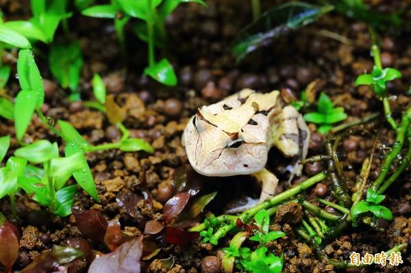 南美洲蘇利南角蛙,因為外型特別「有型」!深獲蛙迷喜愛。(記者李惠洲攝)
