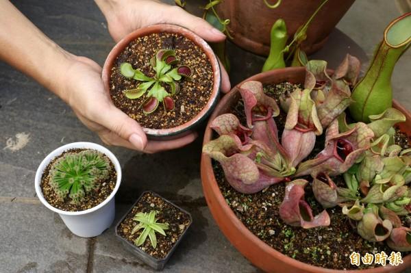 食蟲植物品種類型繁多,要想種好它們,必須先瞭解其特性與生長環境。(記者臺大翔攝)
