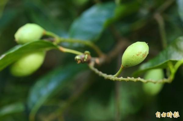 夏末花落後逐漸成熟的橄欖果實,約莫11月底就會完全成熟。(記者潘自強攝)
