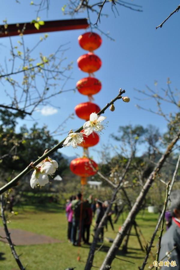 「角板山梅花季」明起跑,角板山行館梅園的梅花約4成盛開。(記者周敏鴻攝)
