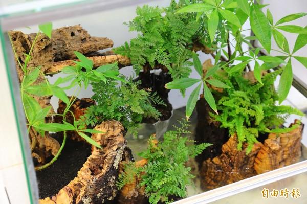 打造青蛙的家,一定要有循環的空氣以及流動的水,還有趨水性的植物,如此打造出雨林般的生態環境後,基本上適合多數青蛙生存。(記者李惠洲攝)