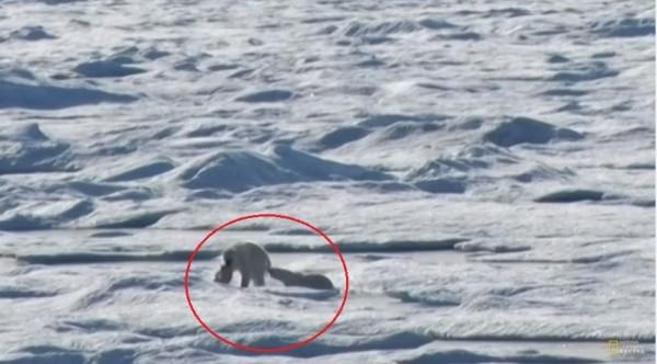 北極雄因為飢餓,上演同類相殘的悲劇。(圖片擷取自國家地理頻道官方YouTube頻道)