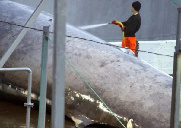 藍鯨被拖運到碼頭後,進行清洗切割。(圖擷自Sea Sheperd)