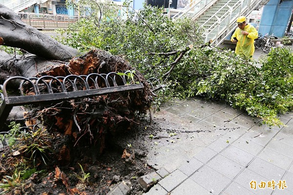A worker yesterday takes a photograph of an uprooted tree in Taipei.