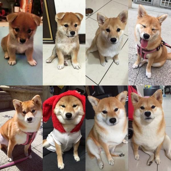 這隻柴犬其實是叫咩妹,影片也是由牠的飼主拍下,牠的飼主在Instagram上詳細紀錄了咩妹的生活點滴。(圖擷自yumiliu526 IG)