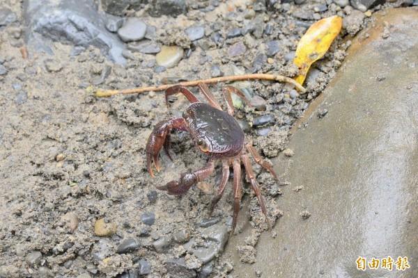 溪水中突然跑出拉氏清溪蟹,牠們喜歡生活在清澈的溪流中。(記者許麗娟攝)
