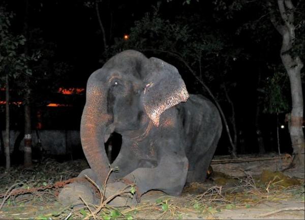 印度一隻名為萊玖(Raju)的大象,為供遊客欣賞,被銬住腳鐐長達50年。(圖擷取自每日郵報)