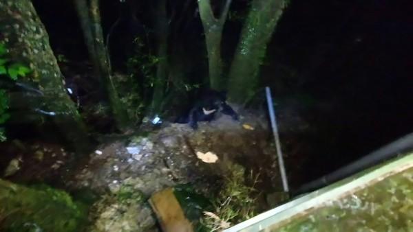天馬登山隊指出,昨晚間在向陽山屋附近也有另一隻黑熊出沒,疑似是聞到山屋內飄出的香味,讓黑熊不斷靠近山屋。(圖由天馬登山隊提供)