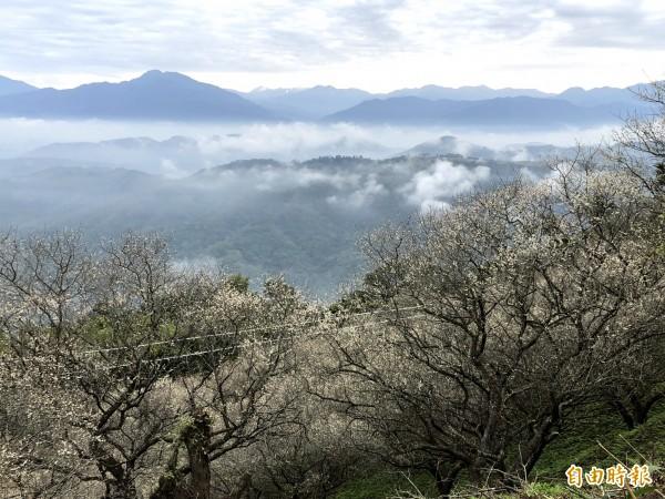 金瓜山梅園冬季除了賞梅,清晨還有雲海,若遇合歡山降雪,還能遠眺雪景。(記者佟振國攝)