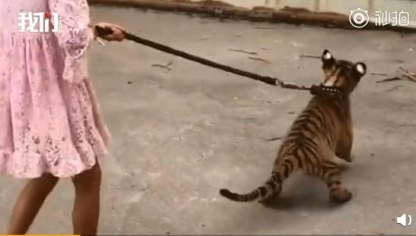 9歲小女孩在動物園的園區內,遛著3個月大的老虎。(圖翻攝自《新京報-我們視頻》)